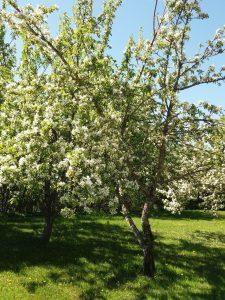 Valkoisena kukkivia omenapuita vihreällä takapihalla.