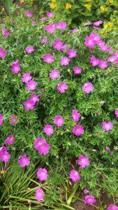 Violetteja pieniä kukkasia.