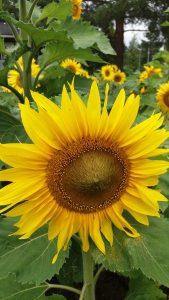 Keltaisia isoja auringonkukkia.