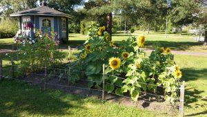 Auringonkukkia kasvamassa aidatulla kukkamaalla Kymijoen Hoivan takapihalla, taustalla vihreää takapihaa ja sininen huvimaja.