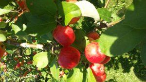 Punaisina hehkuvia omenoita omenapuussa.