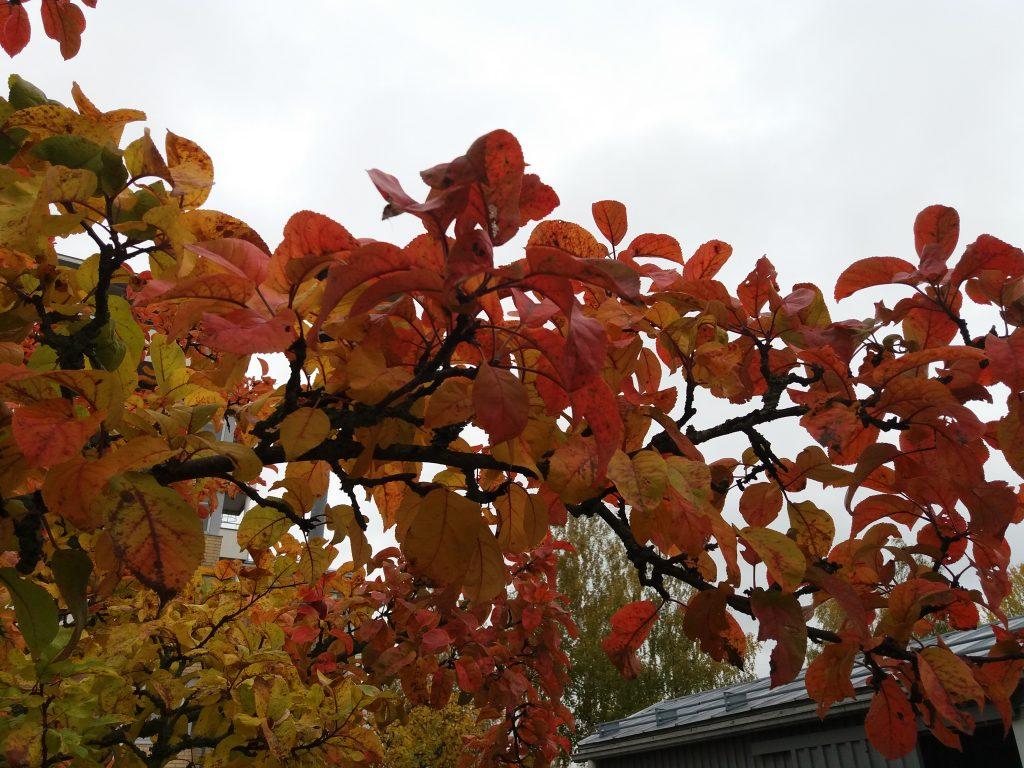 Syksyinen, punertavalehtinen puunoksa.